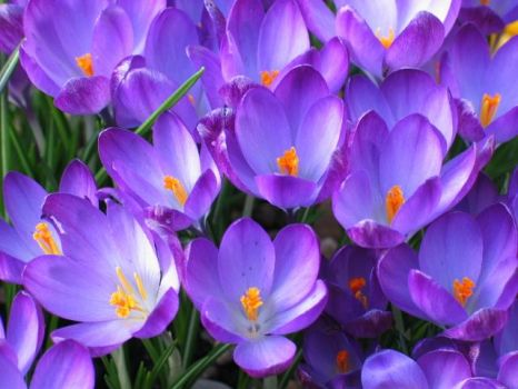 crocus in the spring