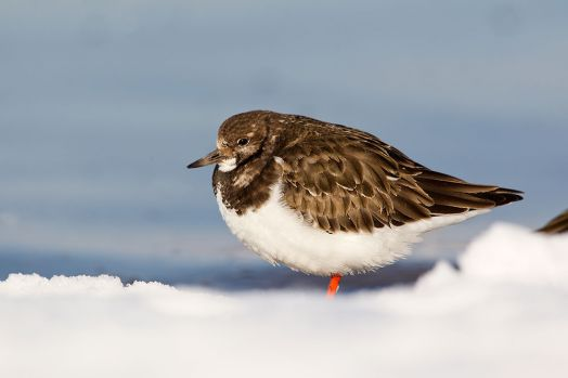 Turnstone on snow