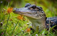 alligatoreez
