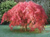 My beautiful acer changing colour