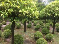 The myrtle garden at Villa Landriana, Tor San Lorenzo,  Italy