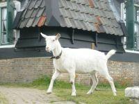A resident goat, Kinderdijk, The Netherlands