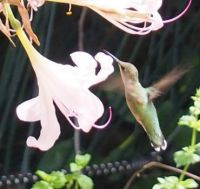 Hummingbird and Resurrection Lily