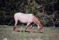 PRYOR MOUNTAIN HORSE 2006
