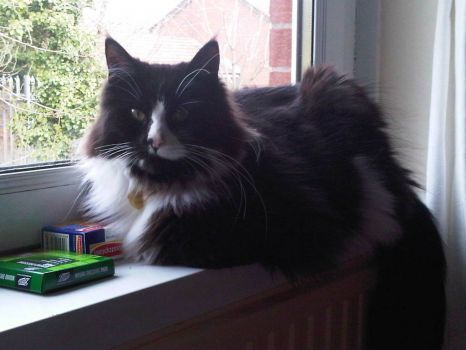 My Maine Coon cat Dexter lounging contentedly on my windowsill, looking just as handsome as ever