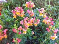 Pink and yellow Snapdragons survived the frost last night.