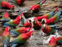 Contamana macaws