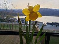 Daffodil at the Lake