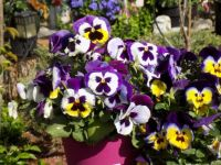 Pansies! large