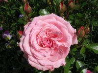 lambert closse rose