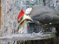 Pilieated Wood Pecker