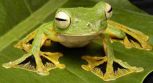 Wallace's web-toed Flying Frog - Asia