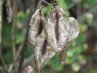 Seed pods of an unknown bush