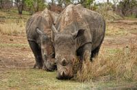 Two Brown Rhino who are actually White Rhinos