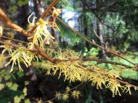 Confused Witchhazel