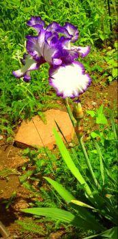 White and purple Iris.
