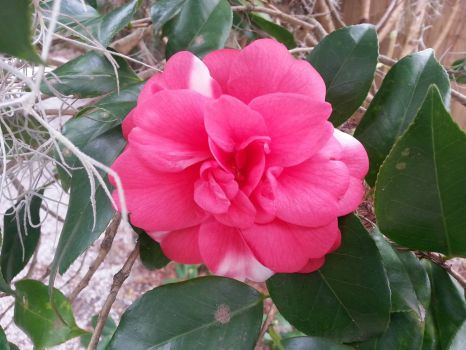 Camelia at Magnolia Plantation