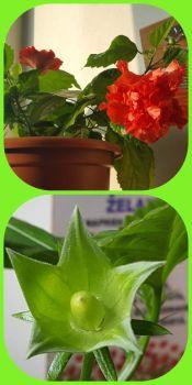 Ibišek květ a semeno / Hibiscus flower and seed
