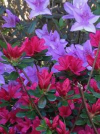 IMG_Azalea & Rhododendron.jpeg