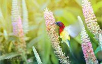 Mrs-Goulds-Sunbird