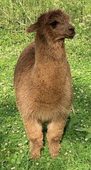 Alpaca: My New Herdsire, ''Hunter''