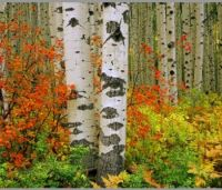 Red Bush&Aspen