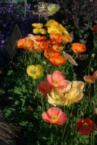 Poppies in SC Garden#2