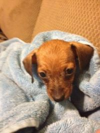 Ashley New Puppy 2012 Daschund