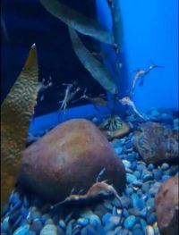 Weedy Sea Dragon in Ripley's Aquarium of the Smokies