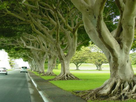Trees at entrance of National Cemetery of the Pacific (Punchbowl) - Oahu, Hi
