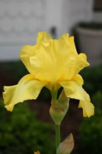 Yellow bearded Iris 2017