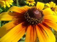 Rudbecia in My Garden