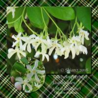 Star Jasmine Flower for Lunie ( Dilubreur)