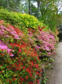 A bank of azaleas - Scottish Highlands