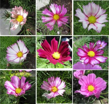 Cosmos or Cosmea Collage # 5