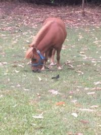Gus - Miniature Horse