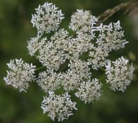 Cow Parsley  and one or more insects