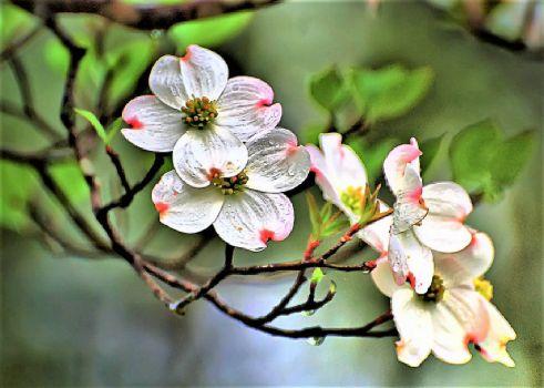 Virginia State Flower ~ American Dogwood