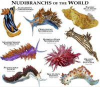 Nudibrachs of the World