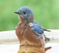 male bluebird taking bath