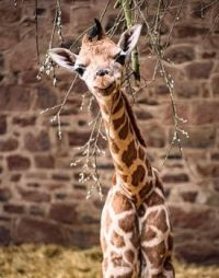 Young Rothschild Giraffe born on the 3rd March 2021 at Chester Zoo