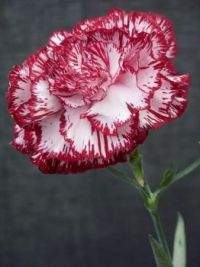 Carnations are beautiful too