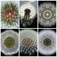 The geometry of dandelions