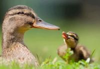 Mammy duck with her duckling