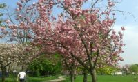 cherry trees in the park