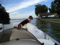 Basset hound on the pontoon