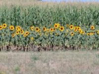 Rows of Sun Flowers