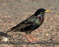 European Starling, Lagoon Trail, Del Mar, California