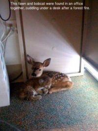 fawn and bobcat