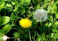 Dandelions' stages